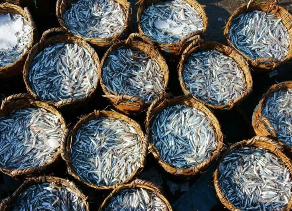 анчоусы для производства рыбного соуса