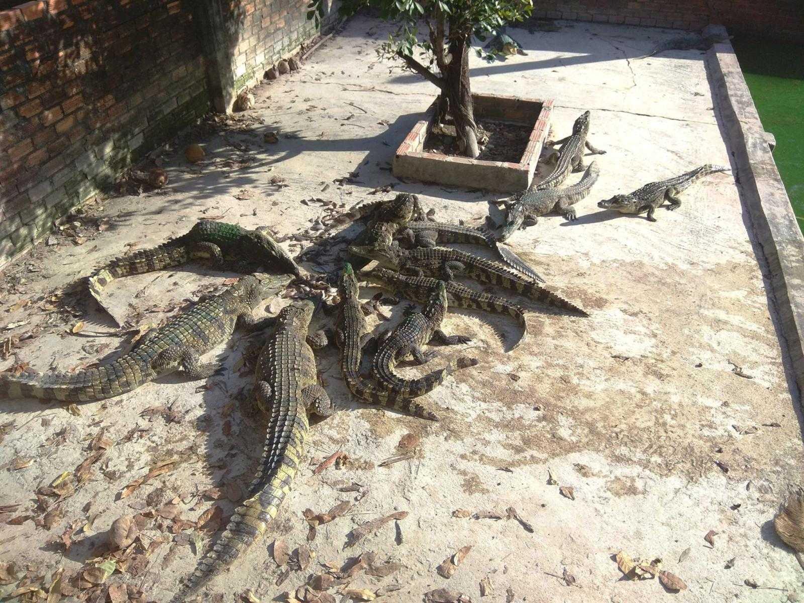 Крокодилы на Фукуоке