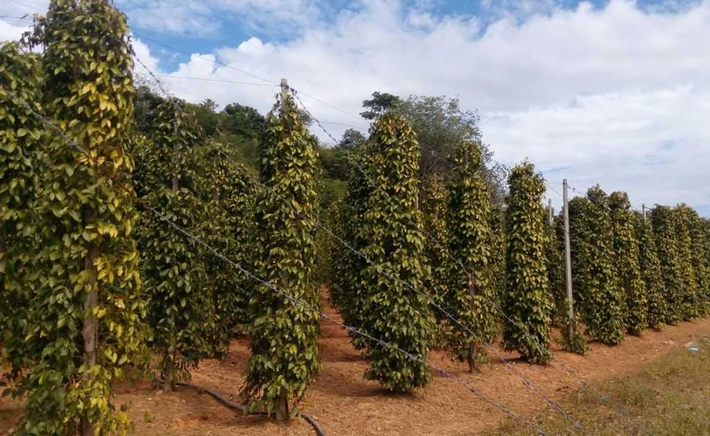 плантация перца фукуок