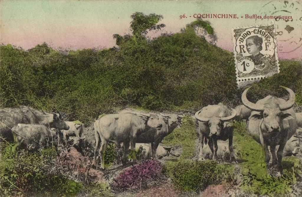 буйволы фукуок