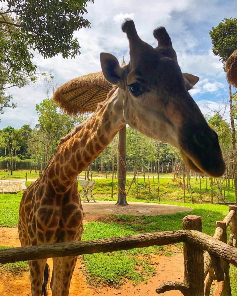 ekskursiya safari park vinpearl i plyazh so zvezdami fukuok 4 819x1024 - Сафари парк VinPearl + Пляж со звездами